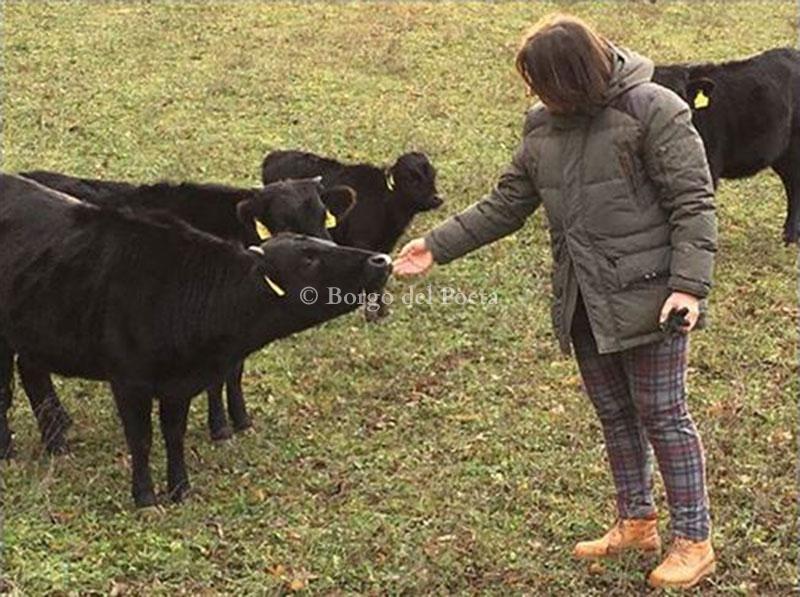 Allevamento DAHOMEY mini mucche