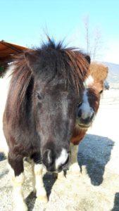 allevamento-cavallini-mini-shetland-02
