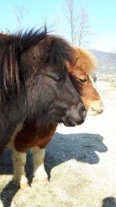 allevamento-cavallini-mini-shetland-04