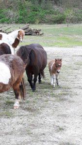 allevamento-cavallini-mini-shetland-05
