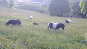 allevamento-cavallini-mini-shetland-06