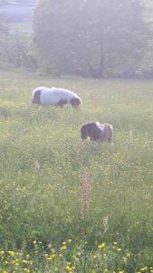 allevamento-cavallini-mini-shetland-07