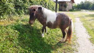 allevamento-cavallini-mini-shetland-08