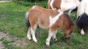 allevamento-cavallini-mini-shetland-12