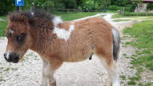 allevamento-cavallini-mini-shetland-13