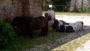 allevamento-cavallini-mini-shetland-14