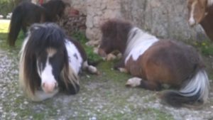 allevamento-cavallini-mini-shetland-16