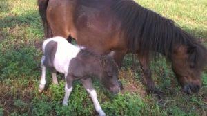 allevamento-cavallini-mini-shetland-19