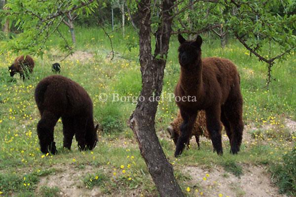 allevamento-di-alpaca