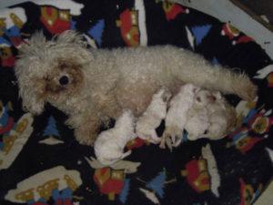 allevamento-di-cani-bolognesi-cuccioli-05