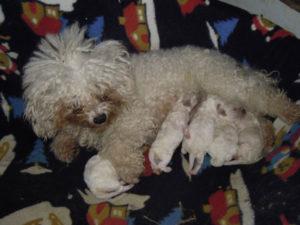 allevamento-di-cani-bolognesi-cuccioli-06