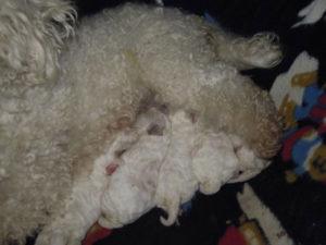 allevamento-di-cani-bolognesi-cuccioli-07