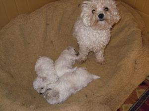 allevamento-di-cani-bolognesi-cuccioli-10
