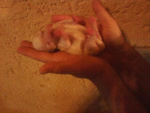 allevamento-di-cani-bolognesi-cuccioli-13