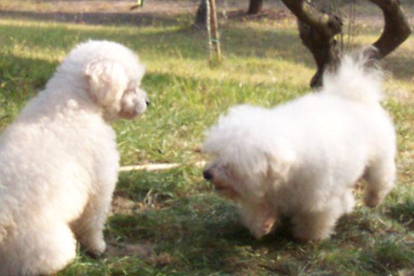 allevamento-di-cani-bolognesi