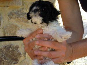 allevamento-di-cani-bolonka-zwetna-cuccioli-02