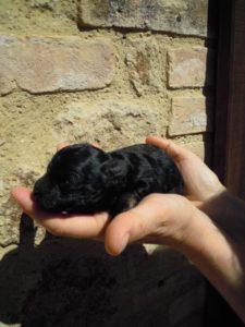 allevamento-di-cani-bolonka-zwetna-cuccioli-08