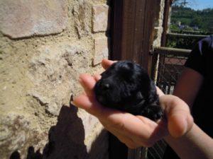 allevamento-di-cani-bolonka-zwetna-cuccioli-10