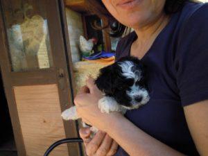 allevamento-di-cani-bolonka-zwetna-cuccioli-13
