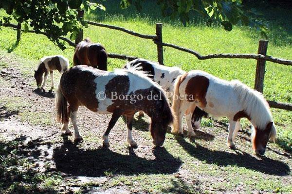 allevamento-di-cavallini-mini-shetland