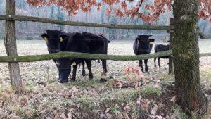 Allevamento Mucche DAHOMEY Nane